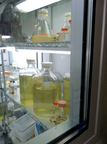 Phytoplankton cultures grown in the laboratory