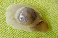 Shark Eye Moon Snail