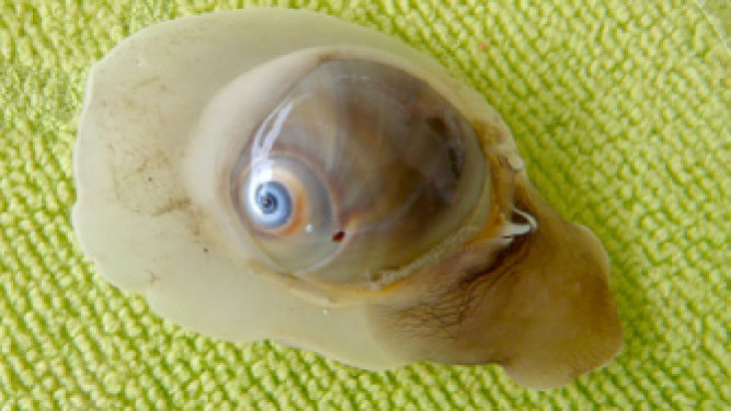 Shark Eye Moon Snail