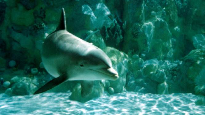 Dolphins Whistling Studied by Scientists