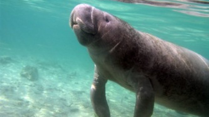 Manatee Red Tide Survivors Released