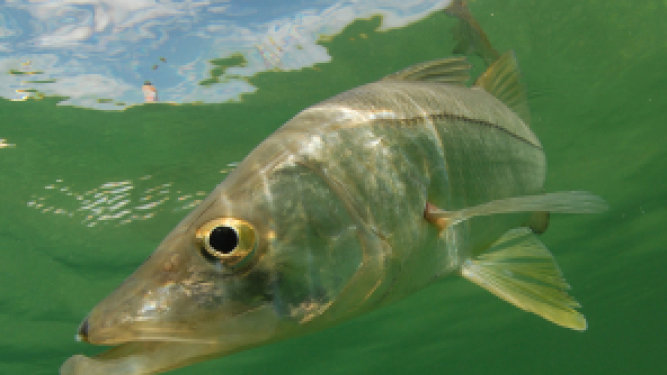 FWC Makes Important Decision on Snook Ban