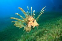 News on the Lionfish