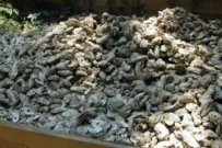 START Leads Partnership to Restore Oyster Beds With Recycled Shells