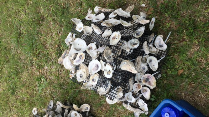 START Leads Oyster Reclamation Project