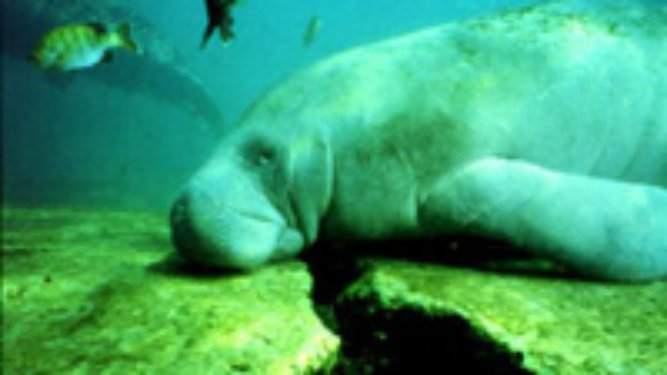 We Need To Follow Boating Rules To Protect Manatees