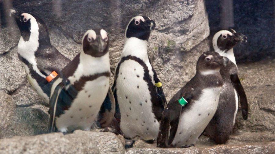 Mote Penguins