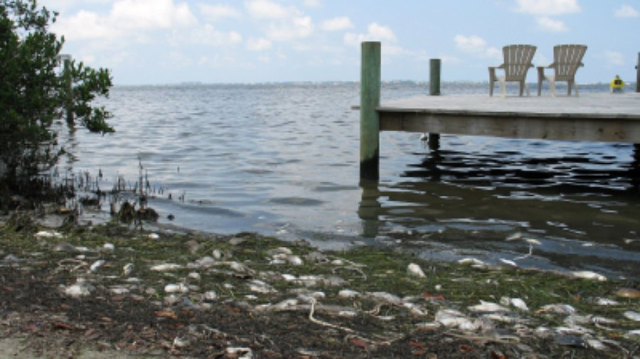 Fish kill from Red Tide