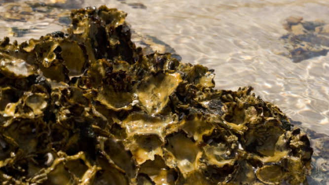 New Study Promotes Oyster Reefs as Alternatives to Sea Walls