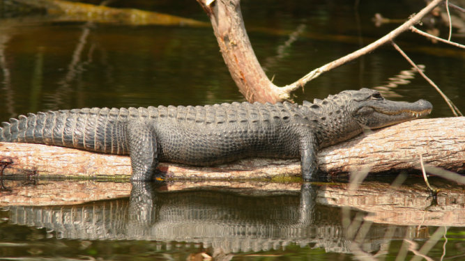 Are the Everglade Alligators in Trouble