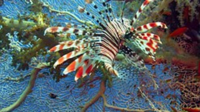 Cilantro Lime Lionfish