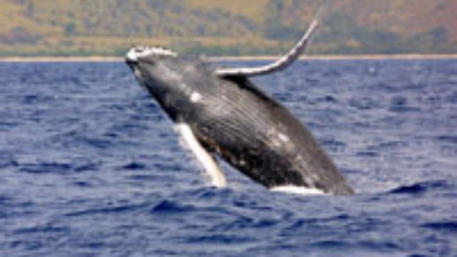 Conservation Efforts Pay Off for Humpback Whales