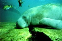 Concern Grows for Manatees