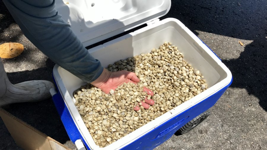 clams seeds in a cooler