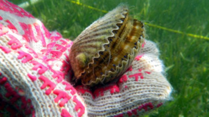 Gulf County Bay Scallop Season Postponed