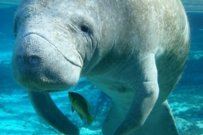 Manatees on the Move
