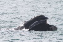 Scientists Worry about Right Whales