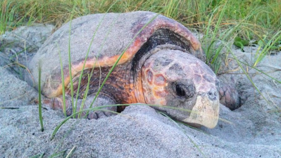 Help Nesting Sea Turtles