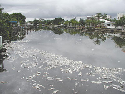 Dead fish in Canals from Red Tide