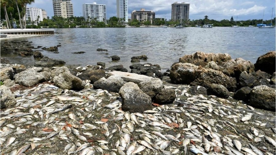dead fish line the shore after red tide bloom