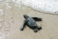 Record Year for Sea Turtle Nests in Sarasota