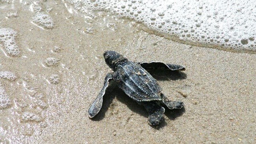 turtle hatchling at waters edge