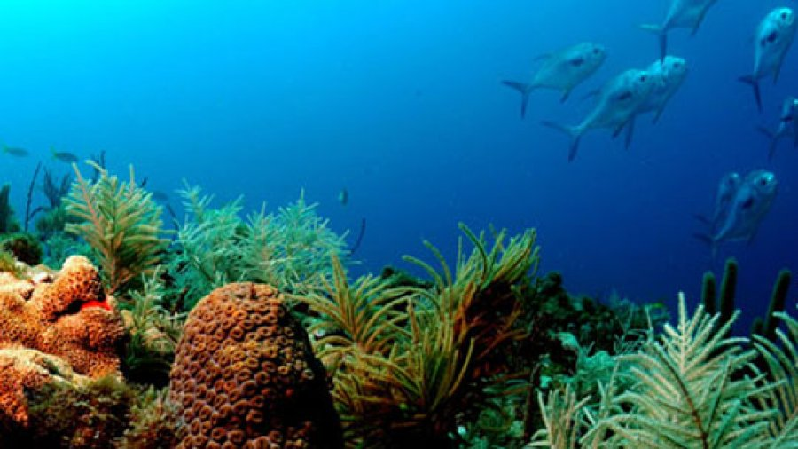 New Effort in Coral Reef Restoration