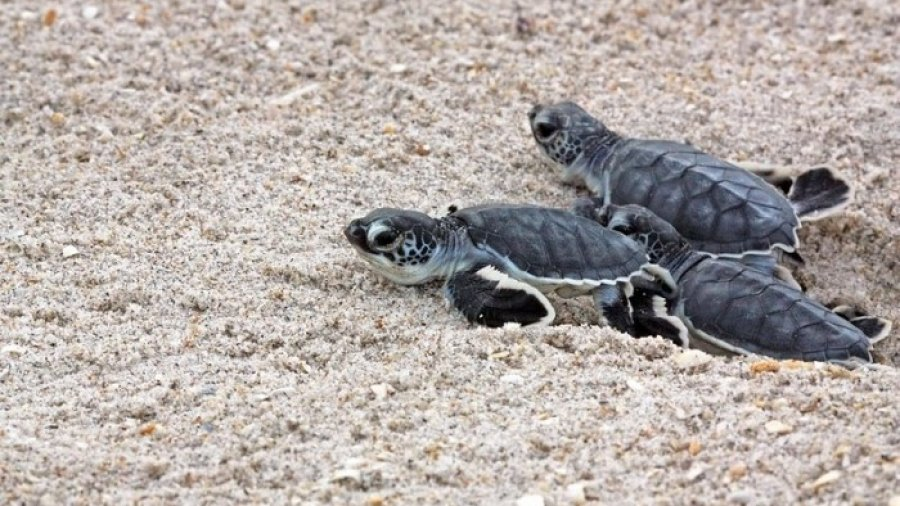 Did You Know Baby Sea Turtles are Hatching on Florida Beaches